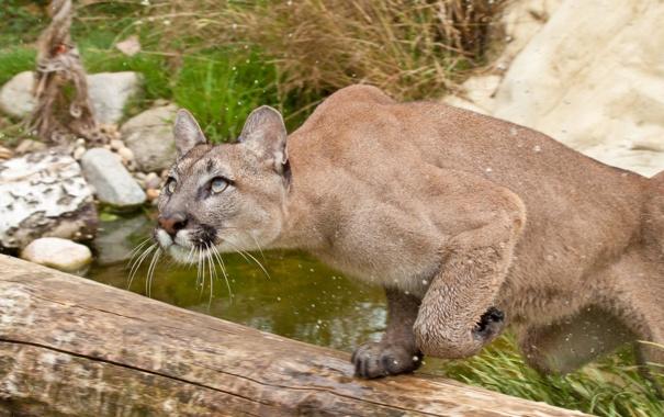 Фото обои кошка, трава, взгляд, вода, брызги, прыжок, охота