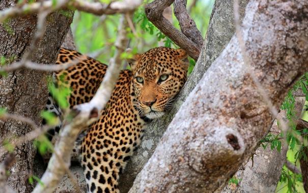 Фото обои взгляд, дерево, хищник, леопард, саванна