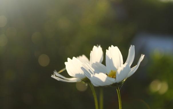 Фото обои белый, цветы, Макро