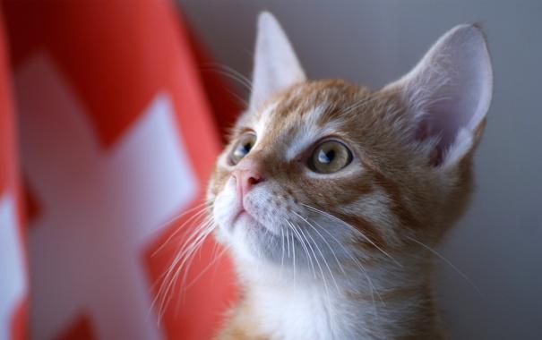 Фото обои кот, котенок, Швейцария, kitty