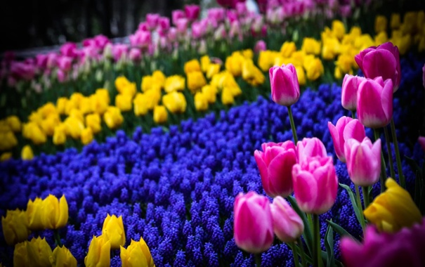 Фото обои цветы, весна, желтые, тюльпаны, розовые, клумба, синие