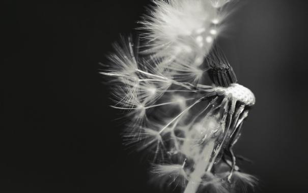 Фото обои фото, фон, одуванчик, обои, семена, черно-белое, пушинки