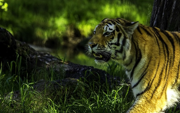 Фото обои хищник, профиль, сибирский тигр