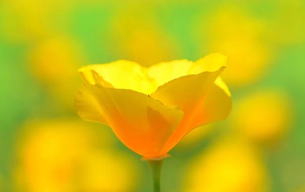 Фото обои цветок, жёлтый, лепестки, размытость, стебель