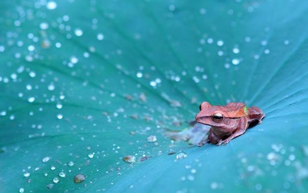Фото обои капли, лист, лягушка, древесная