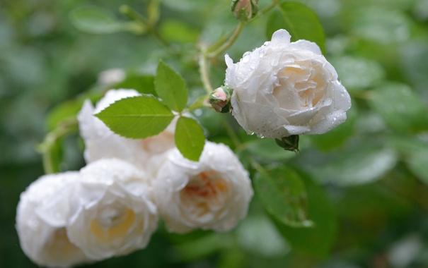 Фото обои капли, макро, роза, бутон