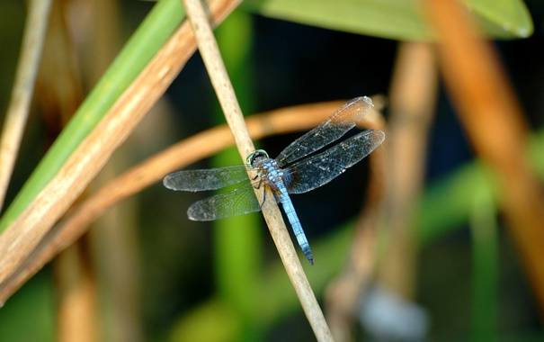 Фото обои трава, крылья, стрекоза