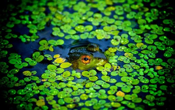Фото обои пруд, лягушка, подглядывает