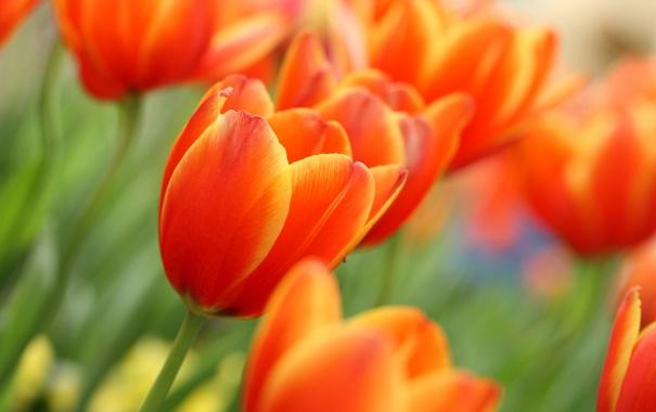 Фото обои бутоны, тюльпан, цветок, весна, тюльпаны, цветы