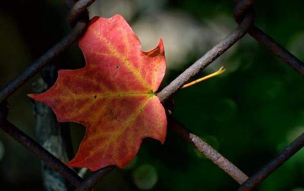 Фото обои осень, забор, лист