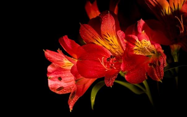 Фото обои макро, цветы, лепестки, тени, бутоны, flowers