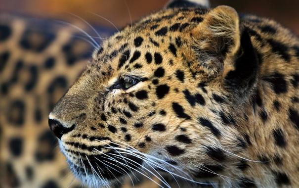 Фото обои пятна, профиль, морда, хищник, усы, леопард