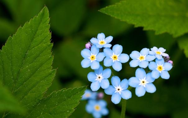 Фото обои зелень, лето, листья, цветы, голубые, сердечко, незабудки