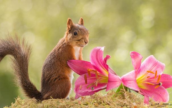 Фото обои цветы, лилии, белка, рыжая