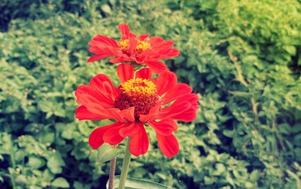 Фото обои цветок, растение, циния