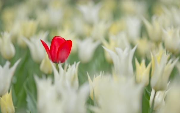 Фото обои поле, лето, тюльпаны