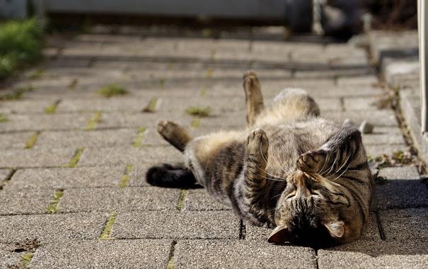 Фото обои кошка, кот, наслаждение, лежит