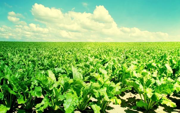 Фото обои blue, sky, green, crop, plant, soil