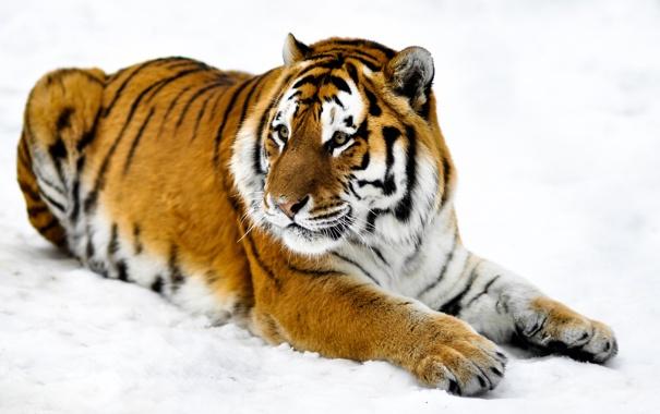 Фото обои морда, снег, тигр, лапы, шкура