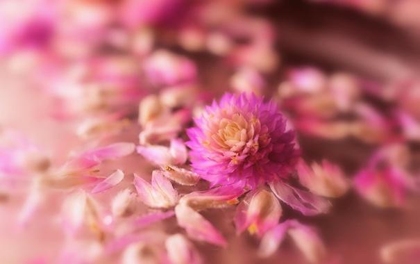Фото обои цветок, макро, розовый, лепестки