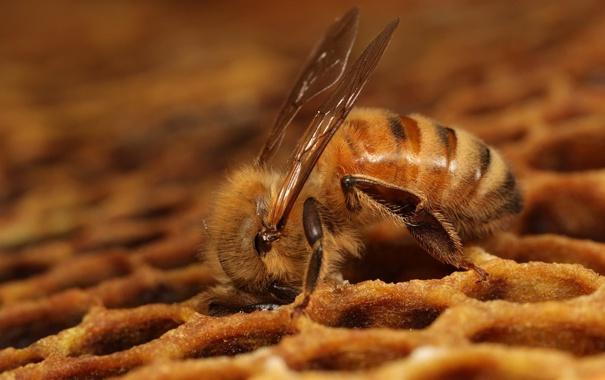Фото обои пчела, соты, Dinner time