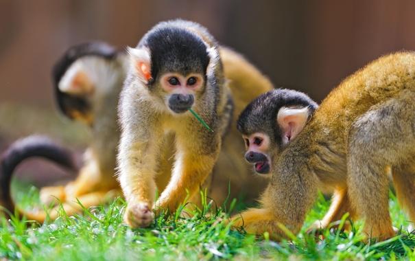 Фото обои обезьяны, саймири, беличьи обезьяны