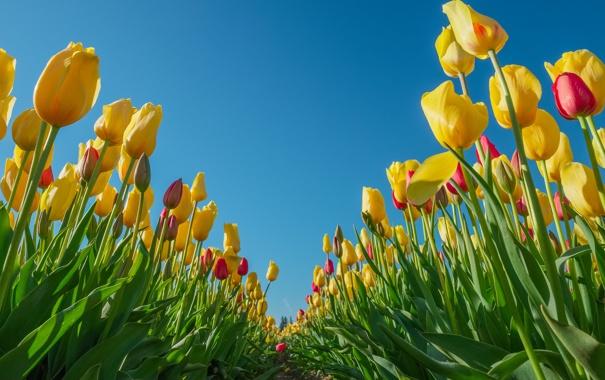Фото обои небо, листья, лепестки, тюльпаны, плантация