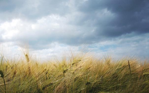 Фото обои пшеница, поле, небо, облака, пейзаж, природа, колосья