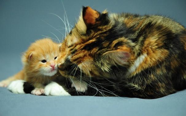 Фото обои кошка, котенок, рыжий, трехцветная