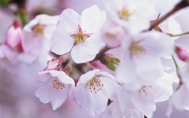 Фото обои дерево, красота, весна, цветение
