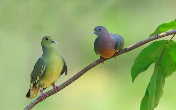 Фото обои листья, птицы, дерево, ветка, голуби