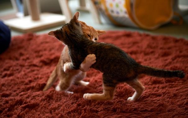 Фото обои кошки, дом, фон, Sumo Cat