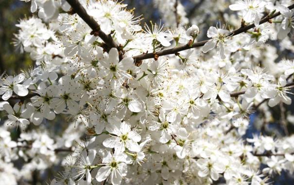 Фото обои цветы, ветки, природа, вишня, дерево, лепестки, цветение