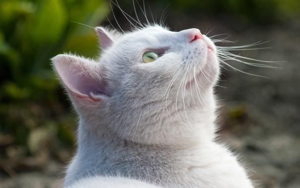 Фото обои белый, кот, природа, вверх, размытость, смотрит