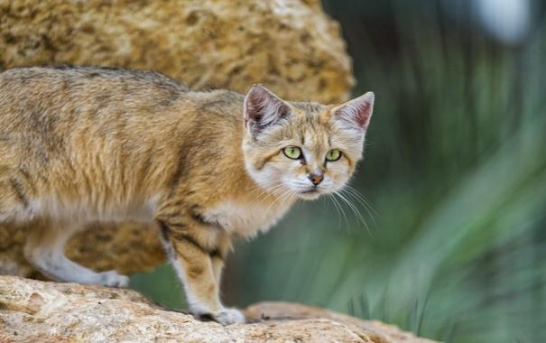 Фото обои кошка, песчаный кот, ©Tambako The Jaguar, барханная кошка