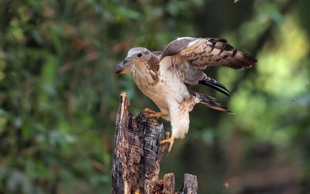 Фото обои фон, птица, пень, хищник