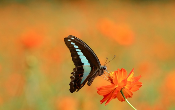 Фото обои цветок, глаза, оранжевый, бабочка, крылья, лепестки, стебель