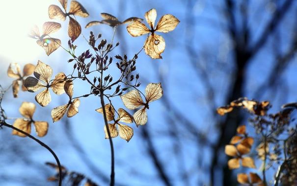 Фото обои flower, winter, blue sky, dry hydrangea