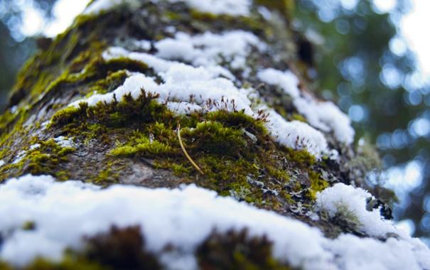 Фото обои лес, снег, дерево, Мох, кора, снегопад