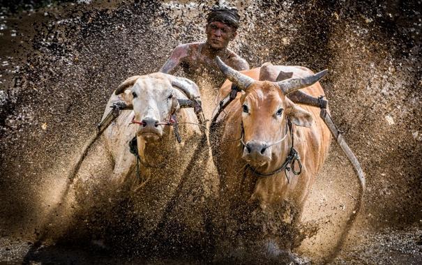 Фото обои гонка, грязь, быки