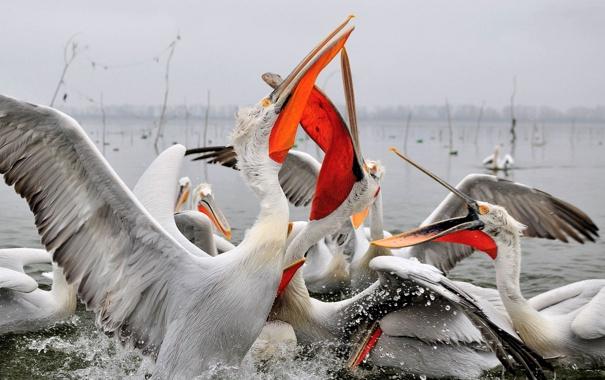 Фото обои вода, птица, крылья, клюв, пеликан
