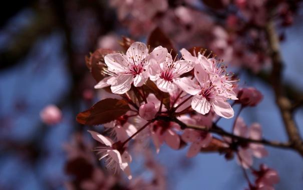 Фото обои небо, цветы, вишня, дерево, ветка, весна, сакура