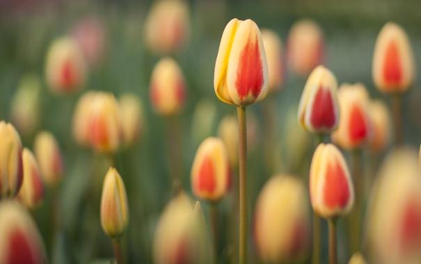 Фото обои поле, цветы, весна, тюльпаны, много