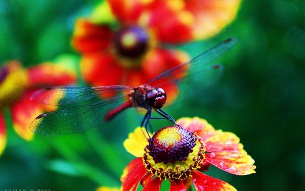 Фото обои лето, Цветы, стрекоза, summer, flowers