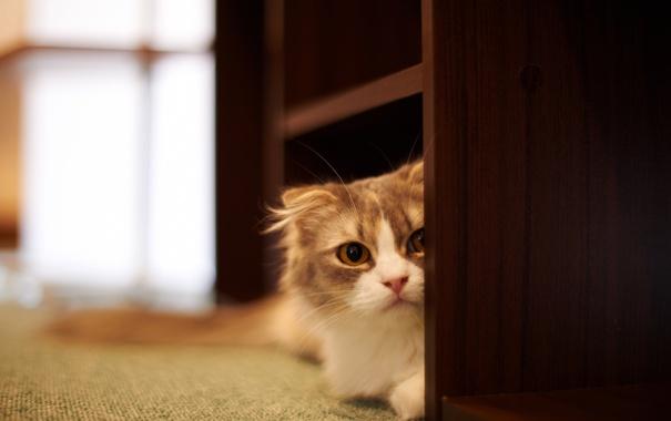 Фото обои кошка, кот, дом, выглядывает, полки
