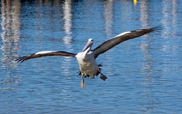 Фото обои птица, крылья, вода, пеликан
