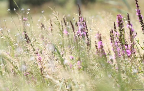 Фото обои колосья, трава, Луг, цветы