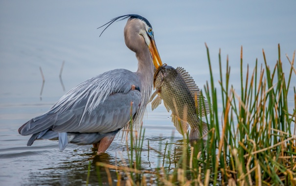 Фото обои вода, птица, рыба, клюв, пеликан