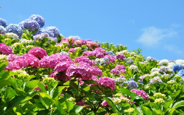 Фото обои небо, пейзаж, цветы, природа, голубое, гортензия