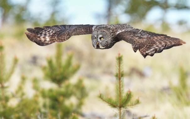 Фото обои полет, сова, птица, елки, ель, хвоя